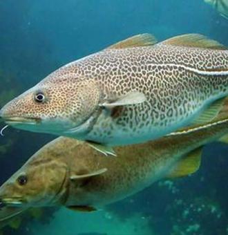 鳕鱼的种类