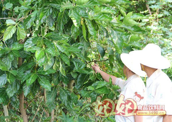我司与三沙市政府合作推广诺尼树木种植_海南诺尼产业
