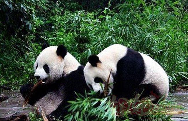 上海野生动物园大熊猫