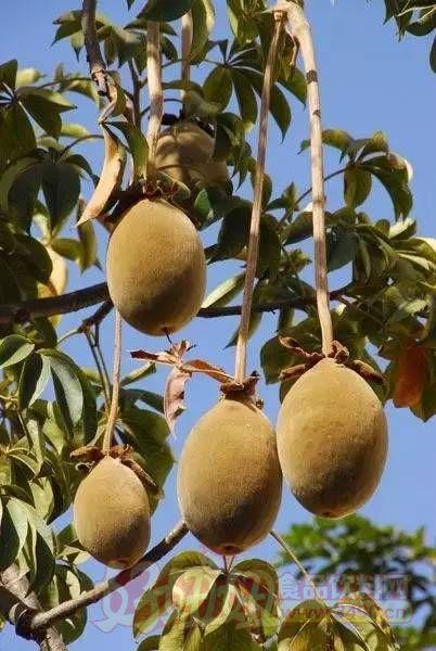 猴面包树果实