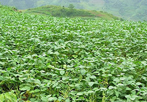 富硒大豆种植基地