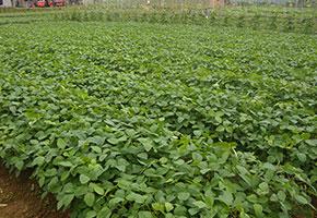 富硒大豆种植基地图片
