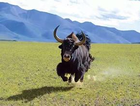 西藏拉萨金本上工贸有限责任公司牦牛草原