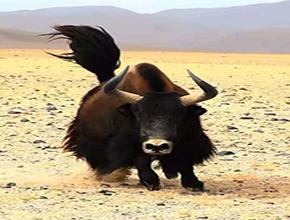 西藏拉萨金本上工贸有限责任公司牦牛