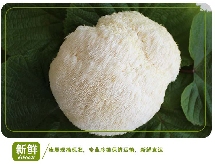 中国猴头菇之乡 产地直销猴头菇 质优价廉