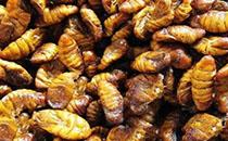 蜂蛹与哪些食物吃比较有营养?