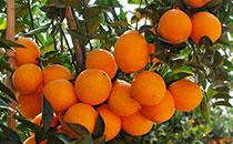 �橙的由�恚��橙怎么挑�x比�^甜