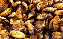蜂蛹有什么营养价值?蜂蛹的价值到底在哪?