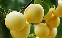 桃子和雪梨能一起吃吗