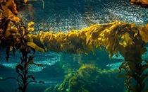 昆布和海带的区别