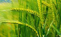 黑麦和小麦的区别