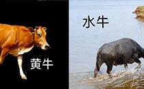 黄牛和水牛有什么区别?