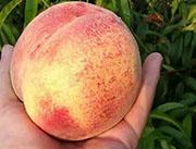 大家-桃子批发种植