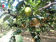 大家-梨种植批发