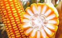 各地区玉米的最新市场价格