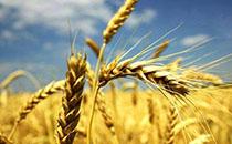 河北地区近日小麦收购价行情价格