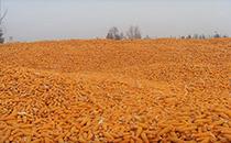托克托县玉米丰产丰收 内蒙古正隆谷物食品有限公司2013年玉米收购工作圆满结束