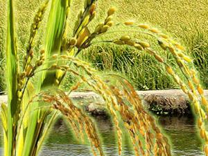 宁安市味稻米业有限责任公司