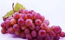 西班牙鲜食葡萄进入中国市场,鲜食葡萄出口量将持续增加