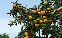 橘子开胃理气,山楂活血化瘀,一起煮成糖水罐头好吃不说