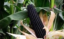 黑玉米、甜玉米、糯玉米食用�r值非常高,�@些好�你可能不知道!