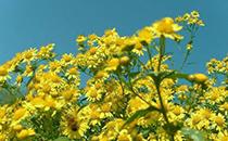 野菊花的功效�c作用及食用方法