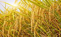 农业农村部:确保水稻产量在2亿吨以上