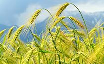 安徽小麦单产851.05 公斤刷新纪录